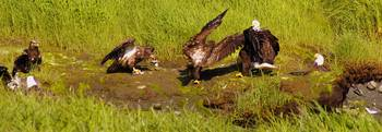 Bald Eagles:  Fracas at the Feast??