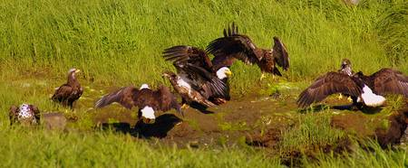 Bald Eagles Landing for the Feast
