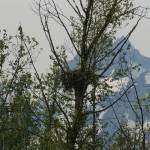 """Bald Eagle nest and mountain in background"" by wildethangs"