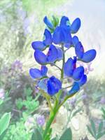 Bluebonnet Beauty