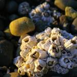 """beach barnacles"" by wildethangs"