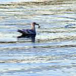 """""""shorebird on blue harbor barely holding crab catch"""" by wildethangs"""