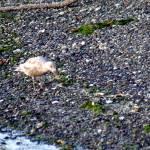 """shorebird, seaweed, and shoreline"" by wildethangs"
