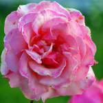 """""""ruffled pink rose just past her prime"""" by wildethangs"""