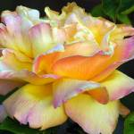 """""""very full pink and yellow gorgeous rose blossom"""" by wildethangs"""