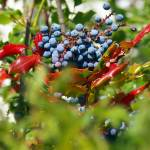 """oregon grape like berries and foliage"" by wildethangs"