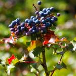 """wild blueish berries and red stickery foliage"" by wildethangs"