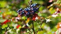 wild blueish berries and red stickery foliage