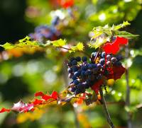 sunkist wild blueish berries and red and green sti