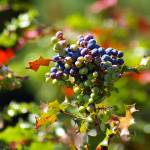 """""""oregon grapey looking berries and foliage"""" by wildethangs"""