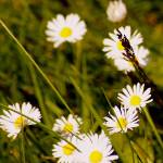 """wild daisies in the grass"" by wildethangs"