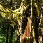 """""""mossy branches rotting stump"""" by wildethangs"""