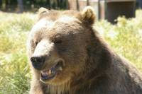 grinning bear portrait