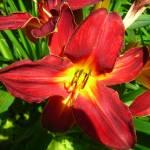 """lily"" by Cassondra"