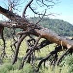 """Dead Tree at Sunset Crater Valley"" by kristahackley"