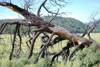 Dead Tree at Sunset Crater Valley