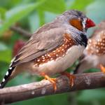 """Zebra Finch"" by Jeni_Harney"