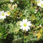 """tiny white flower"" by duman"
