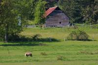 rustic barn and tan horse