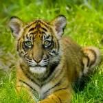 """Tigre Hermano"" by naturally"