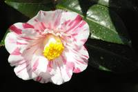 candycane striped ruffled camellia with gum drop c