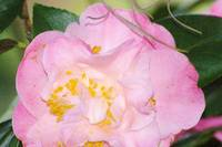 frilly pink camellia bloom with some spanish moss