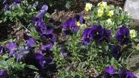 violet and yellow pansies?