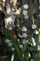 closeup of white woodland bells