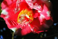 candycane camellia blossom up close and personal