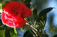 deeply pink camellia blossom with spanish moss
