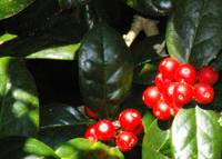 holly berries ho ho ho