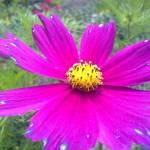 """""""pink flower"""" by lucyanne"""