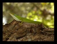 Anole Posing on Tree