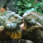 """""""Iguanas"""" by lakoz"""
