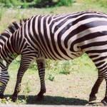 """Zebra"" by EMBlairArtwork"