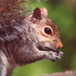"""Gray Squirrel4"" by EMBlairArtwork"