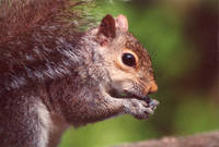 Gray Squirrel4