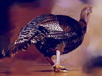 turkey from rear side view