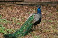 side rear view of peacock with trailing tail