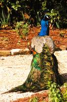 peacock rear view