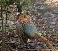 rear view of quail tail