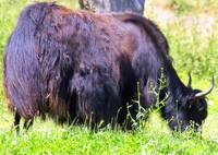 matted musk ox from behind