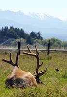 resting elk from rear view