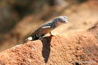 New Mexico Lizard