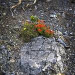 """""""Red Flowers on Rock"""" by Jokehawk"""