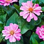 """Zinnia Flowers"" by mjphoto-graphics"