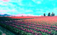 psychedelic tulip fields in Washington state004_4