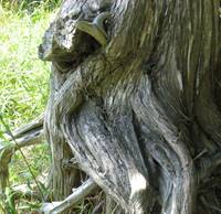 Knotted Tree-trunk