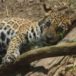 """baby jaguar"" by poetryoflight"