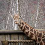 """""""Giraffe"""" by alisonwest"""